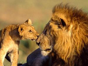 Lion spotting: Top 5 safari adventures